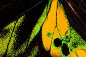 Постер, плакат: Detailed macro photo of a yellow and green male tropical birdwing butterfly ornithoptera goliath w
