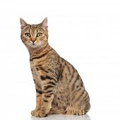 side view of lovely seated striped british fold cat looking to side on white background poster