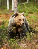 Brown Bear Looks Around In The Taiga From Finland poster