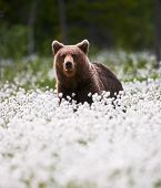 Brown Bear Lying Among The Cotton Grass In The Finnish Taiga poster