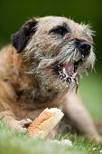stock photo of border terrier  - Border Terrier delightfully crunching a treat - JPG