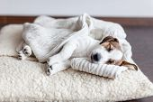 Sleeping puppy on dog bed. Dog jackrussell at home poster