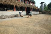 Agricultural Workers Drying Rice