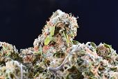 Big Bud Cannabis Drug, Close-up, Medical Marijuana, Weed High Resolution. Marijuana Background. poster