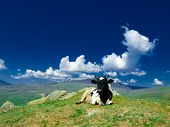 stock photo of caw  - A caw lies on a hill on a background of green mountains and sky with clouds - JPG