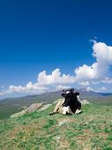 image of caw  - A caw lies on a hill on a background of green mountains and sky with clouds - JPG