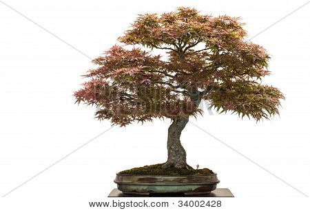 Old Japanese Maple Tree As Bonsai