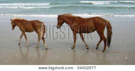 Corolla Wild Horse Family