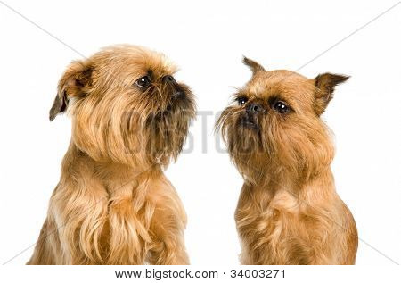 A couple of Griffon Bruxellois dogs, isolated on white background