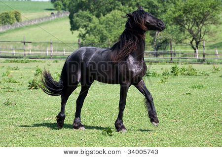 Black Friesian Horse Play On The Meadow