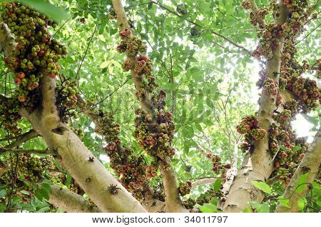 Group Of Ficus Spp.