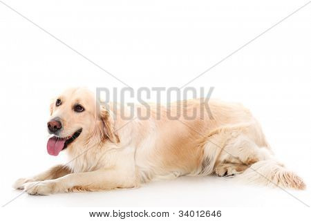 Cute golden retriever over white background