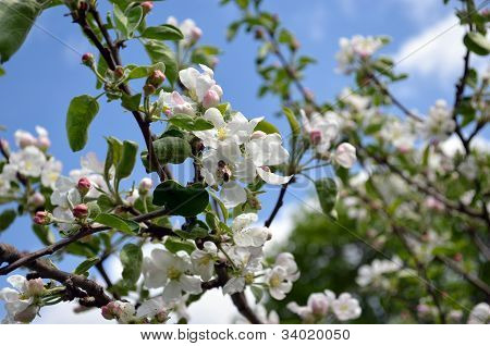 Blooming Apple Tree Branch And Bee Collect Nectar