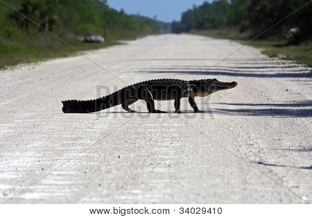Gator Crossing