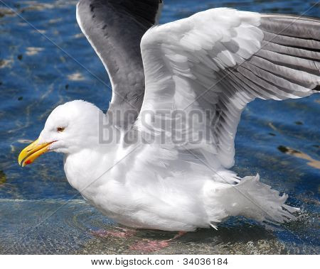 Seagull Shows of Its Angel Wings