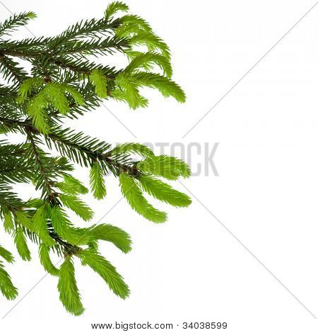 border of green tree branch with young shoots of pine isolated on white