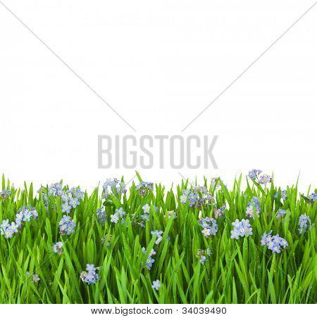 azul miosótis flores na relva verde com gotas de água / isolado no fundo branco