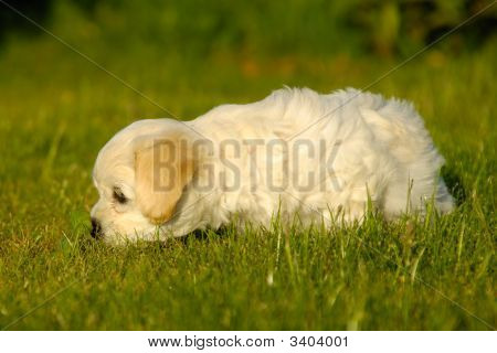 Bichon Havanais Puppy Dog