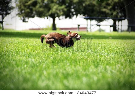 Dog running in park