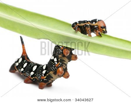 Spurge Hawk, Hyles Euphorbiae, caterpillar eating on leaf against white background