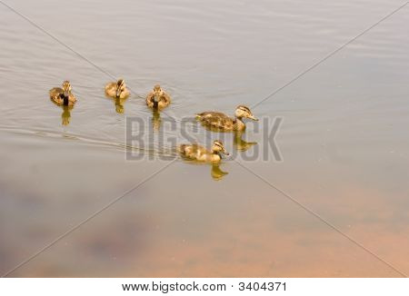 Baby Ducks In Pond