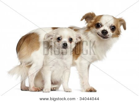 Chihuahuas, 15 months old and puppy, 2.5 months old, smiling against white background