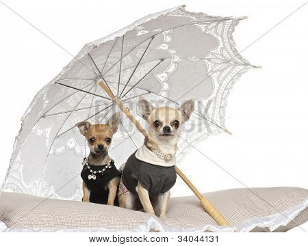 Chihuahuas, 3 years old, sitting under parasol against white background