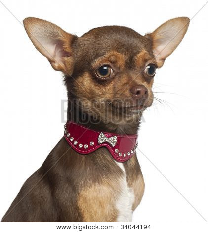 Chihuahua puppy, 6 months old, sitting against white background