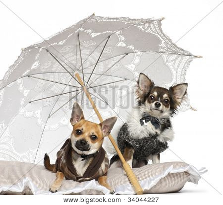 Chihuahuas, 1 year old, sitting under parasol against white background