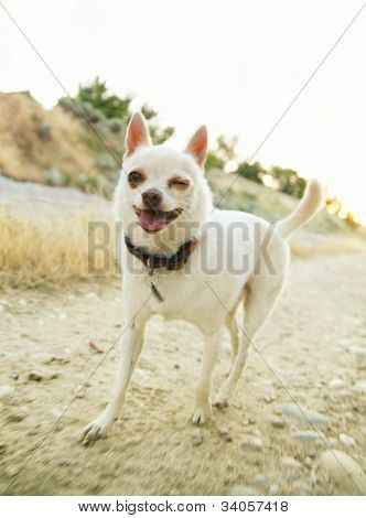 a tiny chihuahua walking on a canal bank winking his eye