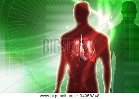 Pulmones humanos