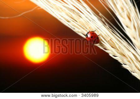 Sunrise Ladybug