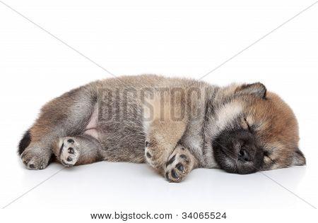 Shiba Inu Puppy Sleep On White Background