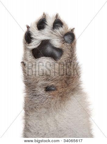 Dog Puppy Paw On White Background