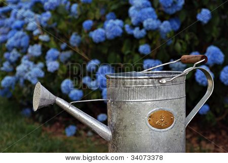 Charming old fashioned watering can with beautiful blue hydrangea bushes in soft focus as background.  Closeup with shallow dof.