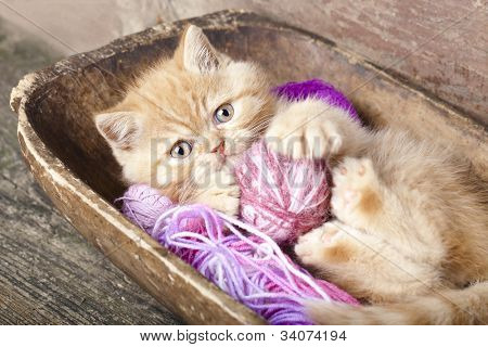 Exotic kitten playing with a ball of wool