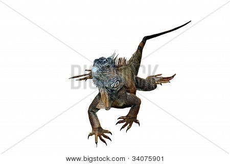 Isolated Green Iguana White Background