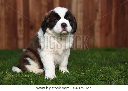 Cute and Adorable Saint Bernard Pup