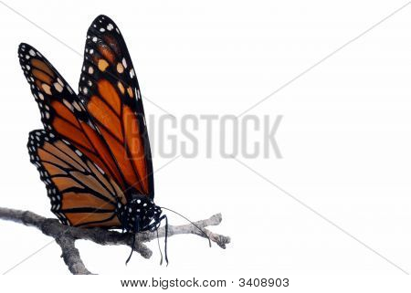 Monarch Butterfly On A Branch Isolated