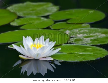 White Water-lily And Its Reflection