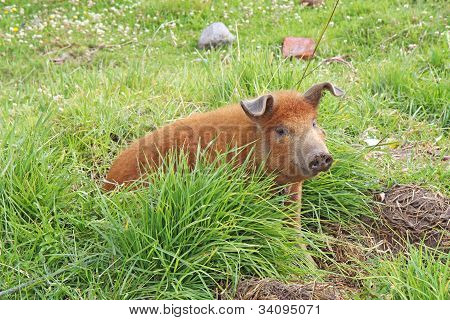 Live Domestic Pig In Ecuador