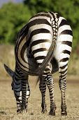 Wild Common Zebra Feeding