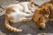 Dog And Cat Play Together. Cat And Dog Lying Outside In The Yard. Kitten Sucks Dog Breast Milk. Dog  poster
