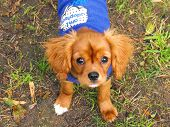 picture of maltese-cross  - king charles cavalier cross maltese puppy with a coat on  - JPG