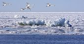 stock photo of whoopees  - The ice on the sea breaks up and whoopees arrives - JPG