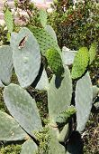 stock photo of nopal  - Opuntia ficus indica also called Nopal Indian fig opuntia and Prickly Pear - JPG
