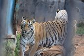 A Tiger Is Climbing The Fence To See Visitors Inside The Zoo.white Tiger Standing In Grass Looking A poster