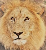 The Muzzle Of A Lion With Yellow Mane poster