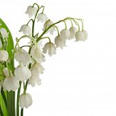 stock photo of lillies  - Lily of the Valley  - JPG