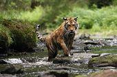 The Siberian Tiger (panthera Tigris Tigris), Or  Amur Tiger (panthera Tigris Altaica) In The Forest  poster
